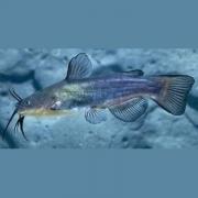 Black Bullhead fish in the water