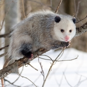 An opossum on a tree branch in the winter