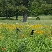 Birds and wildflowers on Berksdale Golf Course