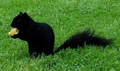Completely black fox squirrel © Chris Fuller