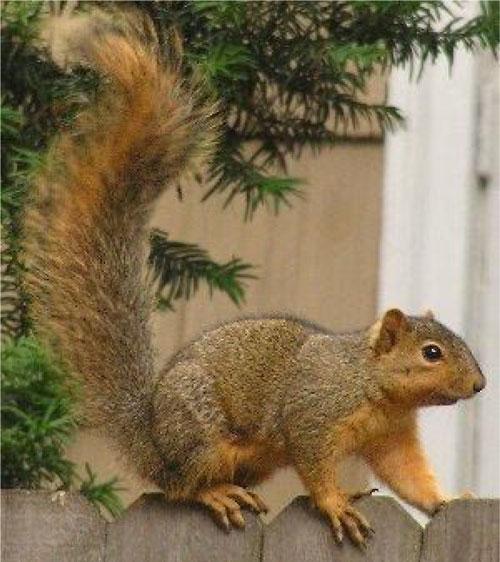 Typical fox squirrel © Markus Krötzsch