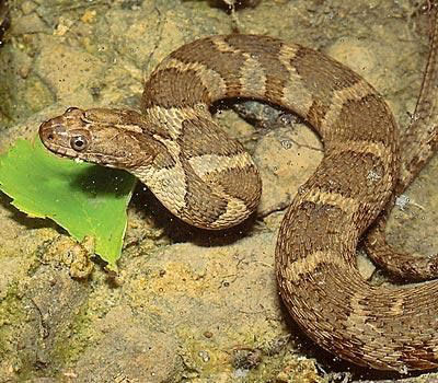 Northern Watersnake on the ground