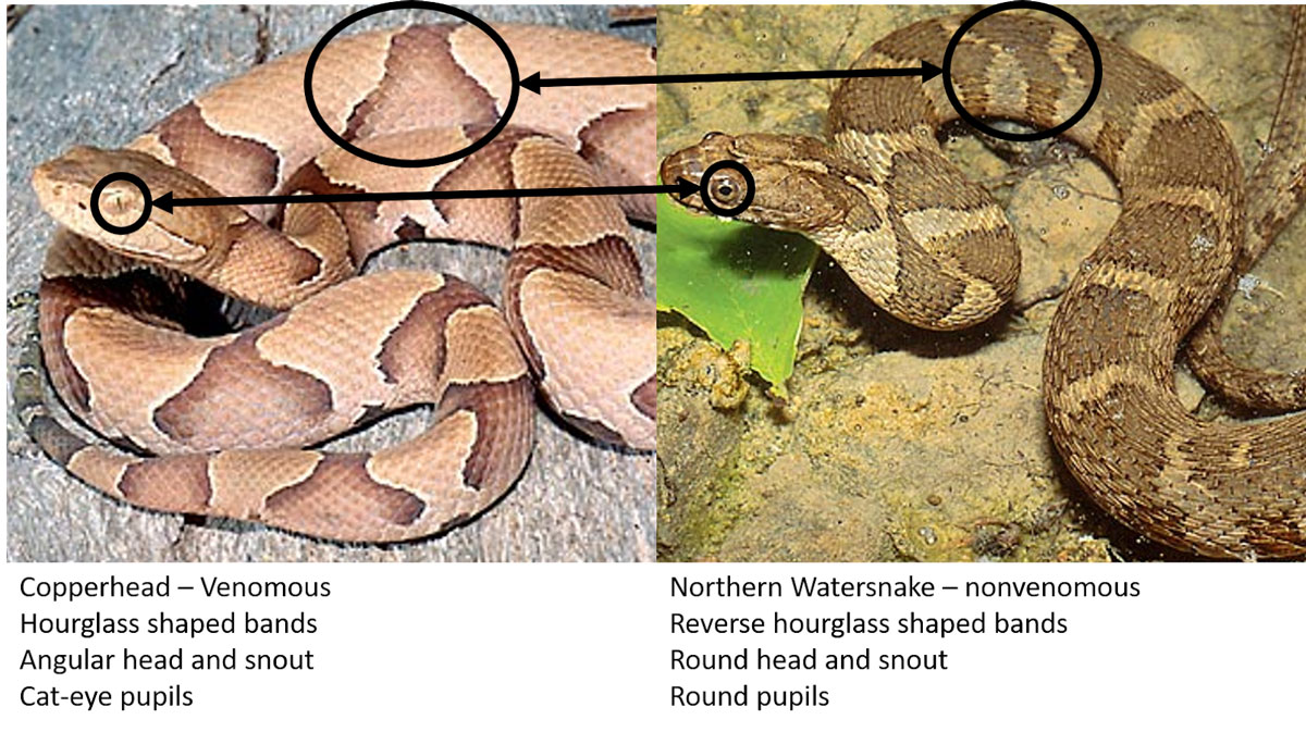 Comparison of Copperhead and Northern Watersnake ©Suzanne Collins