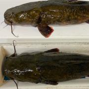 2 Flathead Catfish that were caught in Bella Vista Lakes.