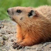 Groundhog laying on a mound of dirt
