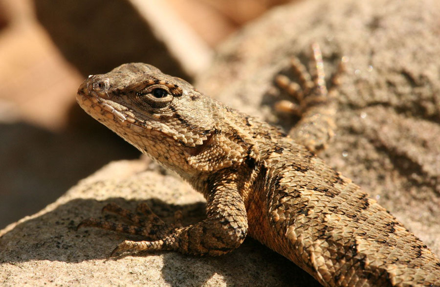 Eastern Fence Lizard perched on a rock
