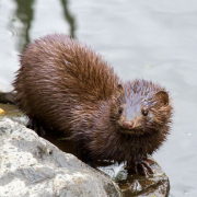 American Mink on a rock in the water